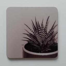 zebra-aloe-pink.jpg