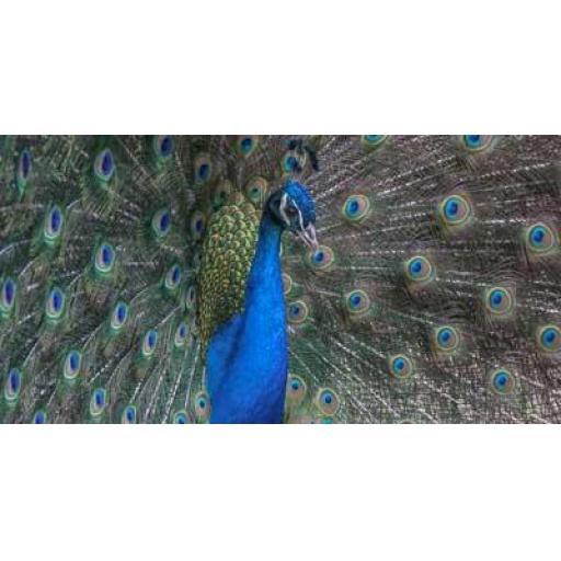 Peacock, Barcelona print