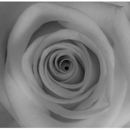 Rose White print