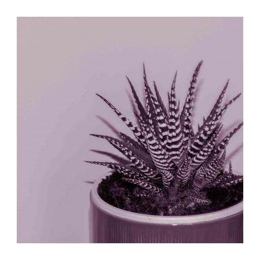 Zebra Aloe print pink