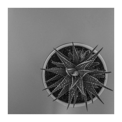 Zebra Aloe print Monochrome
