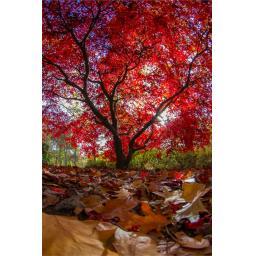 red tree 3.jpg